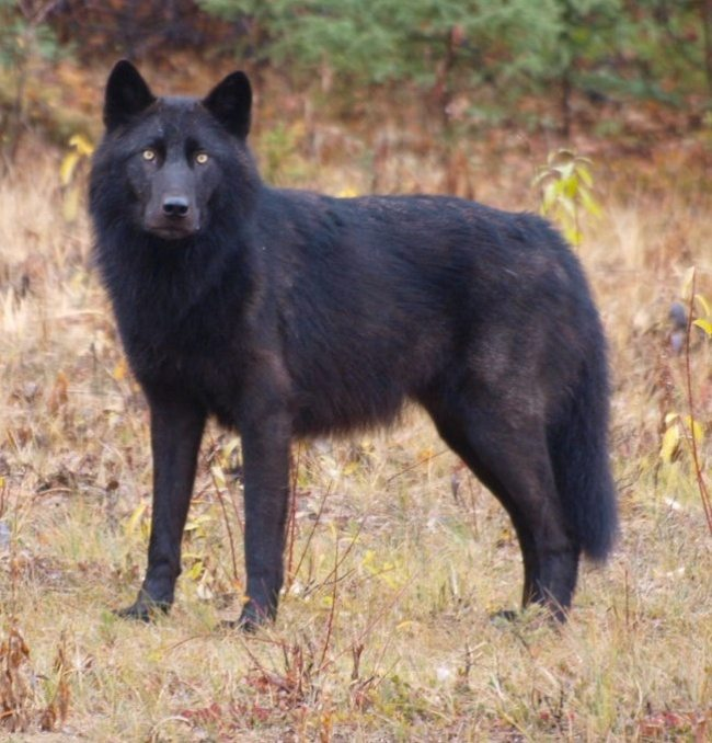 black-animals-1