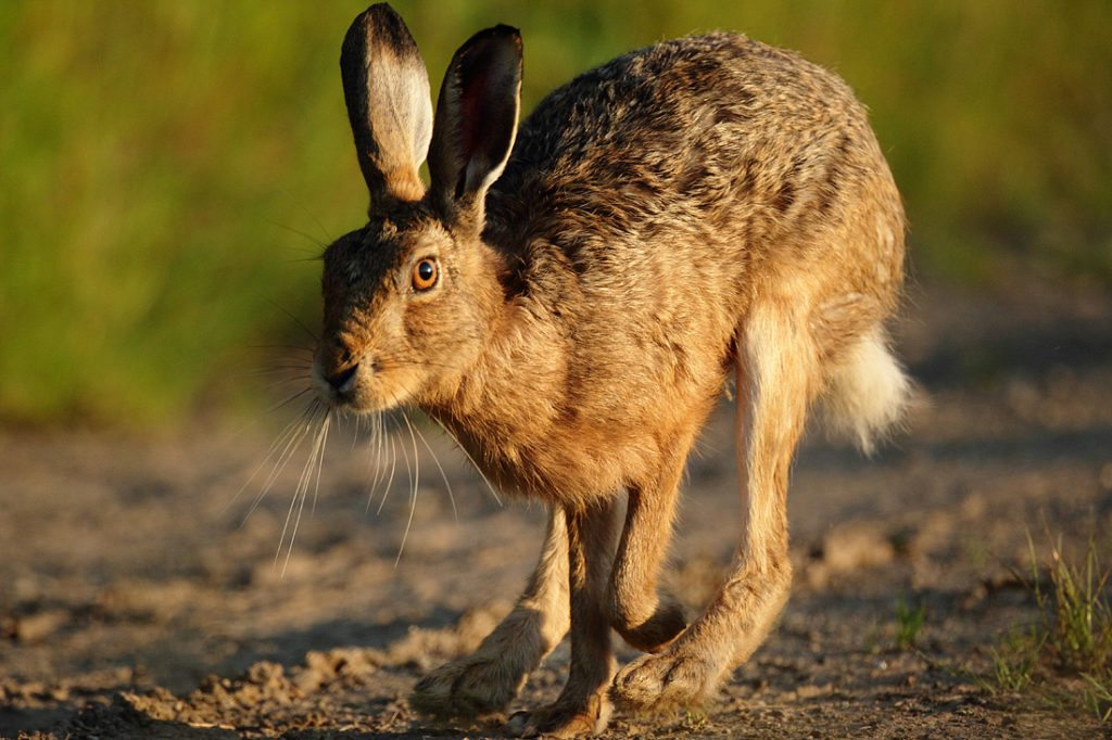 A brown hare runs across game cover on the edge of a large arable field. Modern, specialised farming techniques are making life difficult for Britain's hares