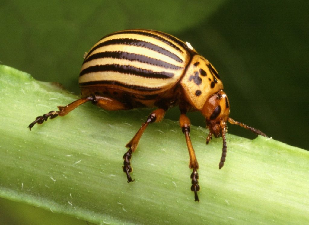 The priceless necklace ground beetle needs beetle blanks