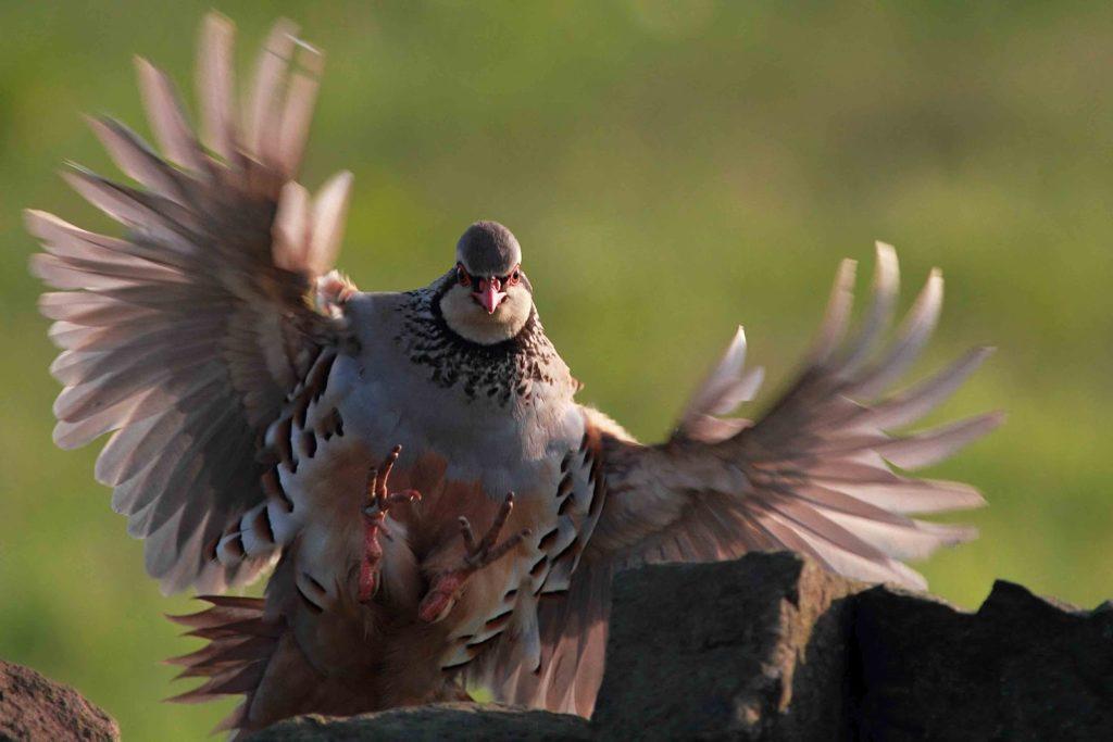 grey-partridge