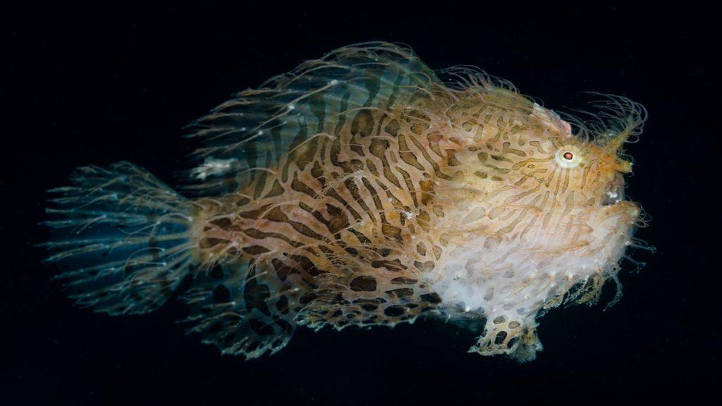 Antennarius striatus is a popular fish in marine aquariums
