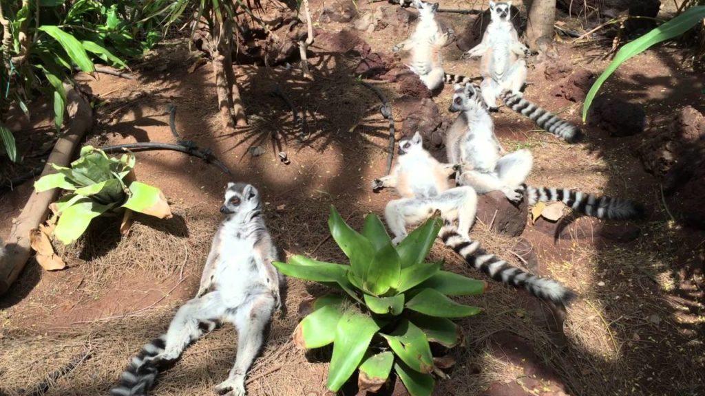 Lazy lemurs in Madagascar