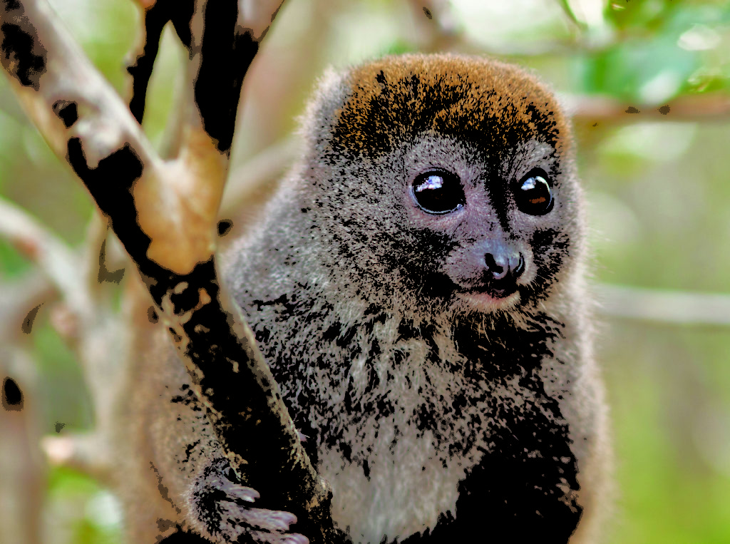 The Alaotran gentle lemur is one of the many species benefitting from the protection of the community patrols