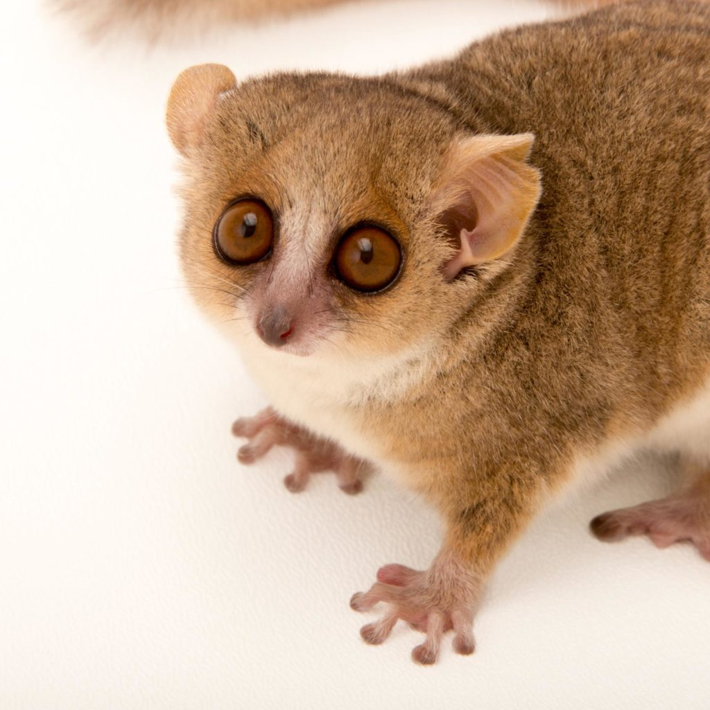 A red-and-grey mouse lemur; dwarf and mouse lemurs are nocturnal, they shelter in nests or tree holes during the day