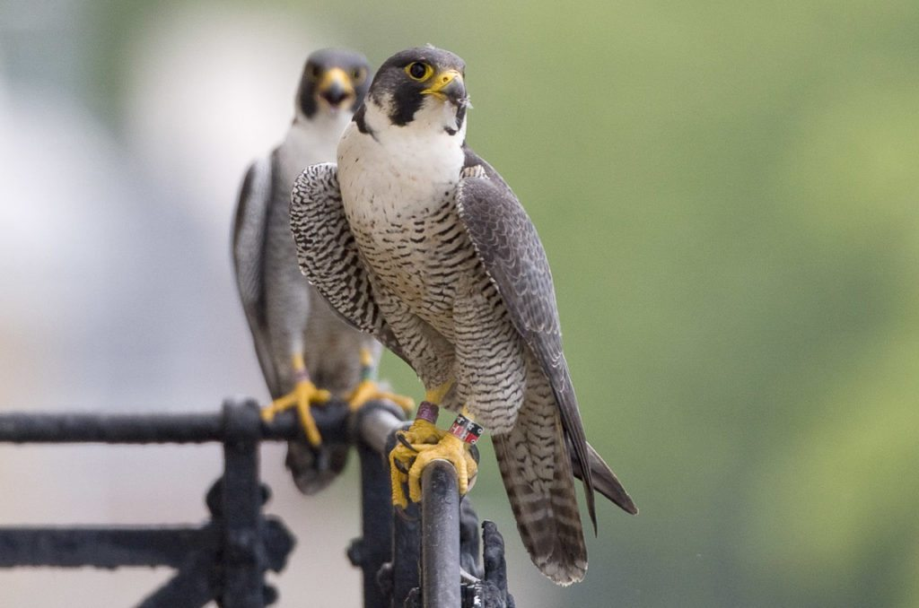 The true love of peregrine falcons is unstoppable