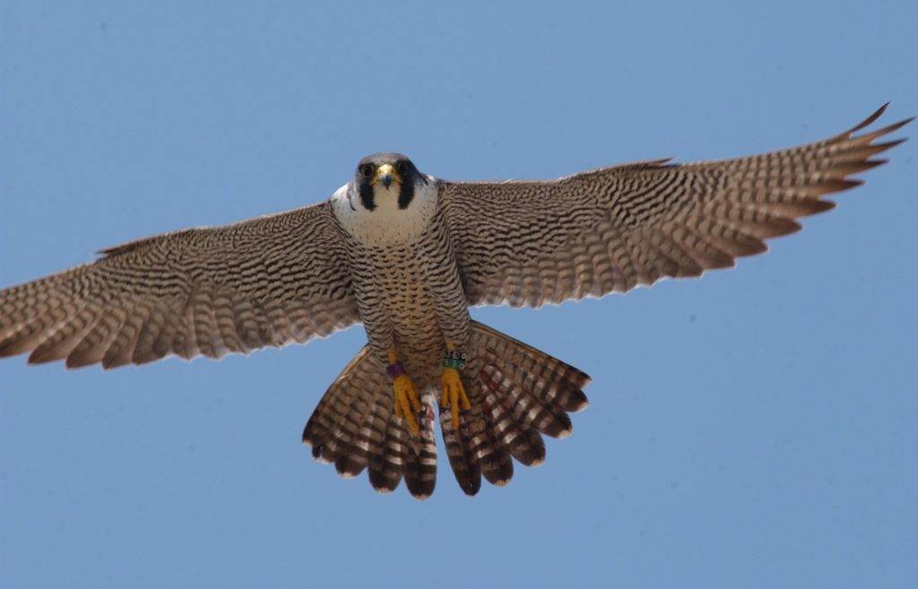 Female peregrines can be up to 20 per cent larger than males