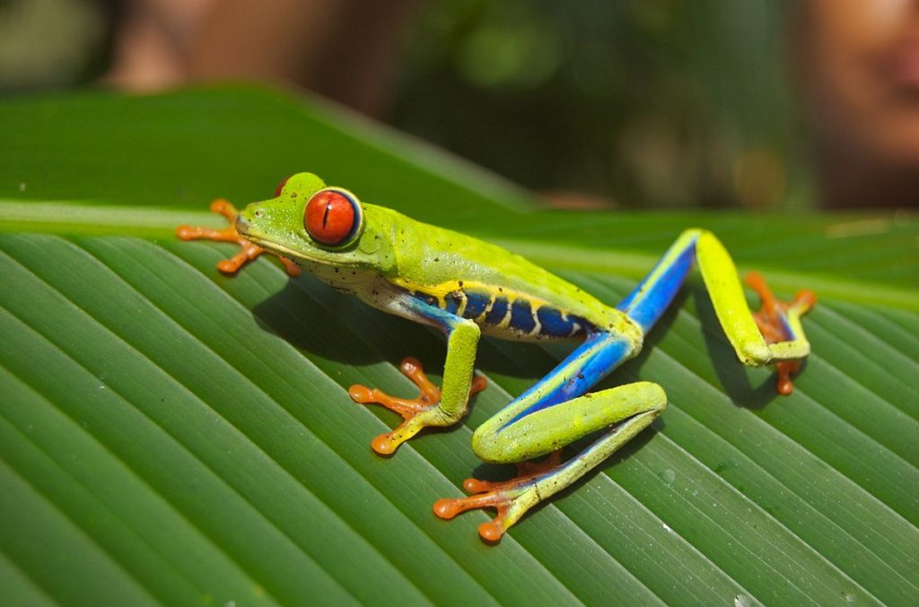 An encounter with the red-eyed tree frog is truly unforgettable