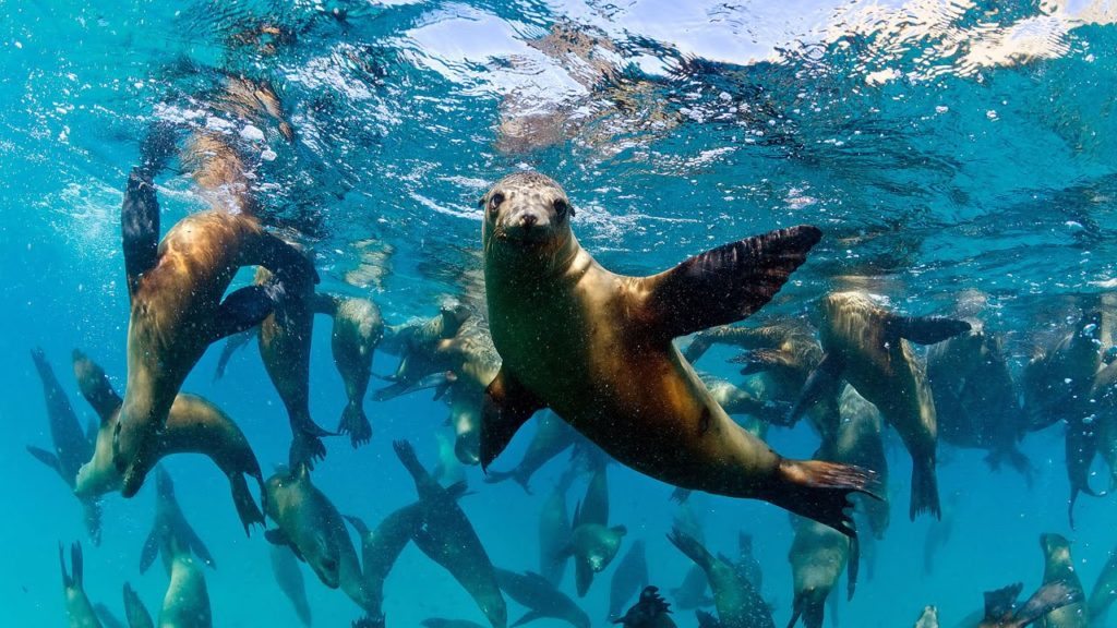 The domoic acid produced by marine algae has been found to have long-term effects on California sealions' memory and navigation