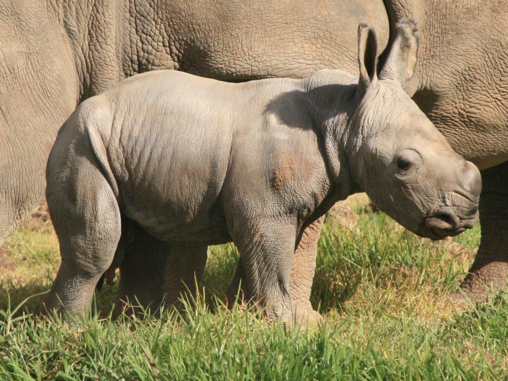 white-rhino-calf