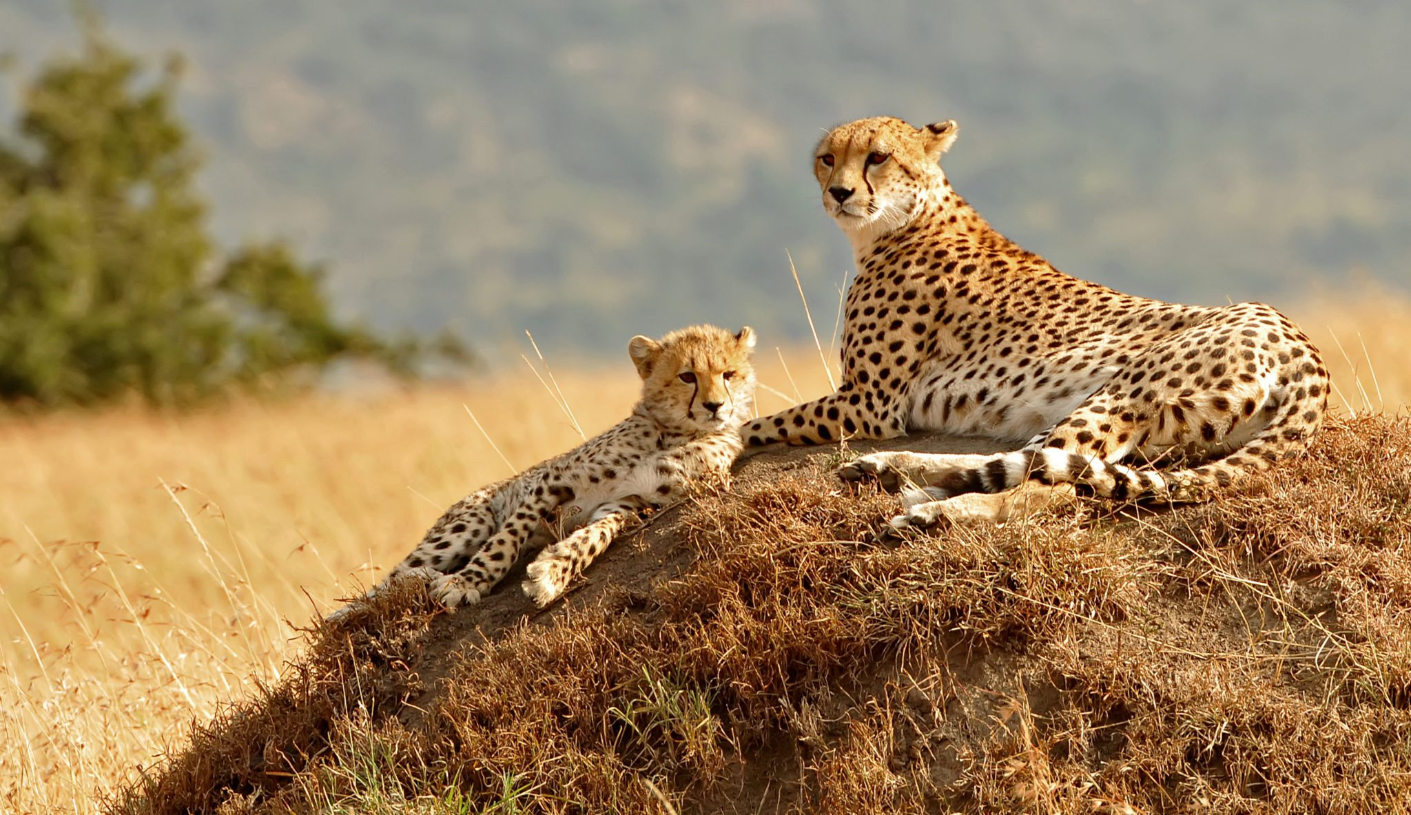 Cheetahs may be more vulnerable than other predators because 77 per cent of their habitat is outside of a protected area