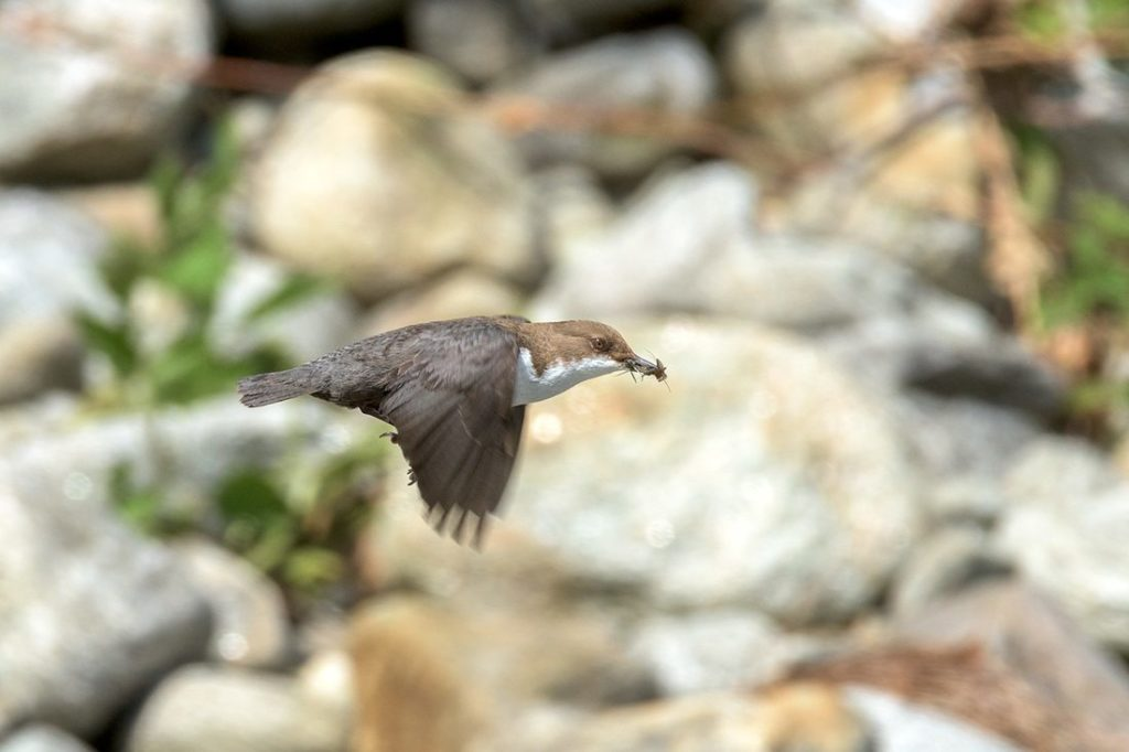 A dipper flies to its nest