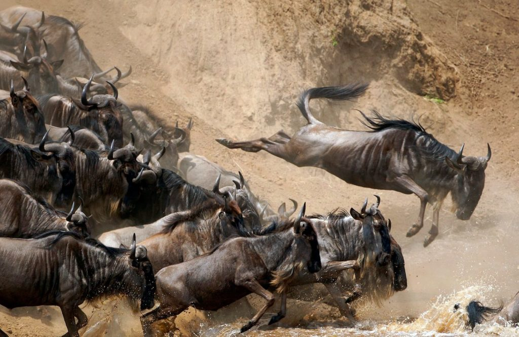 The wildebeest migration, Kenia