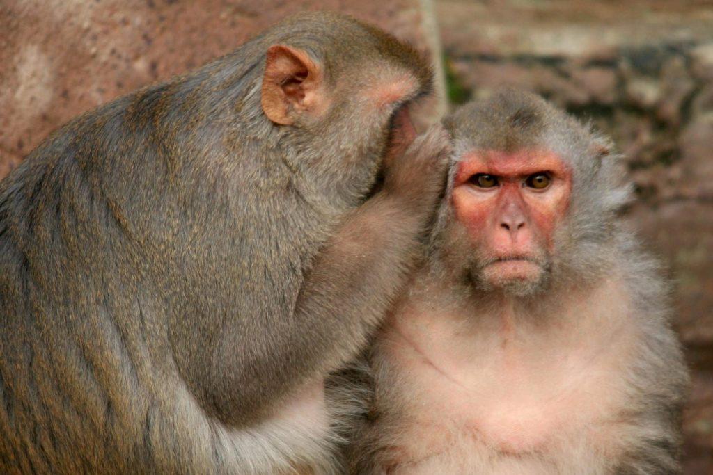 Rhesus-macaques