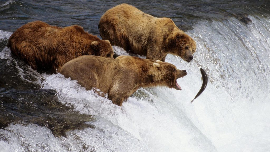 Salmon-fishing bears, Alaska