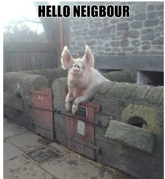 funny-pigs-1