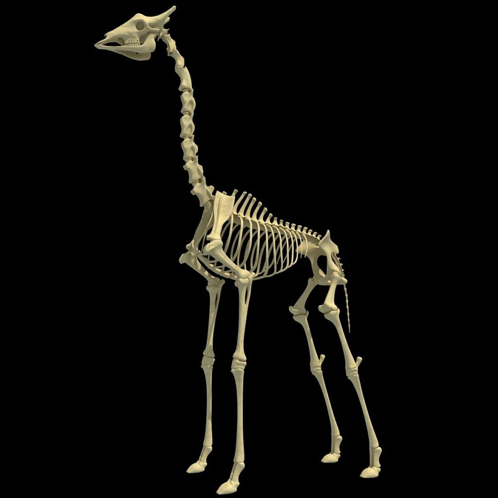 Giraffe Skeleton