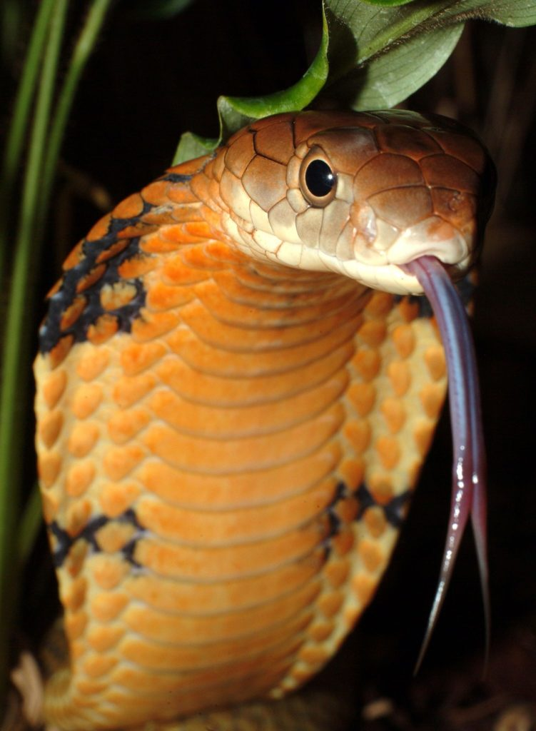 A cobra uses its long tongue to detect prey