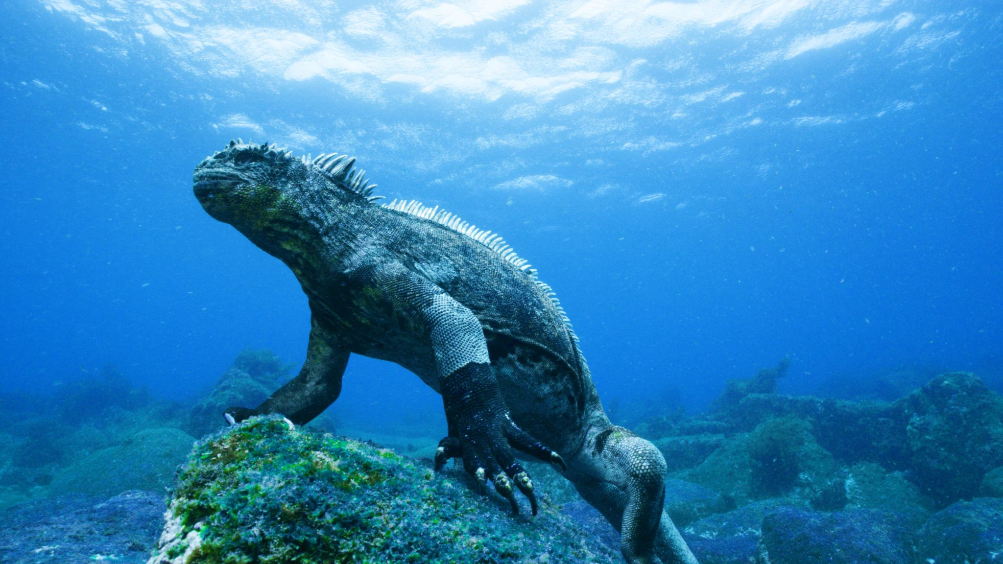 Only the largest marine iguanas forage for algae in the sea – they can grow to 1,5m long, but the average individual is about half that length