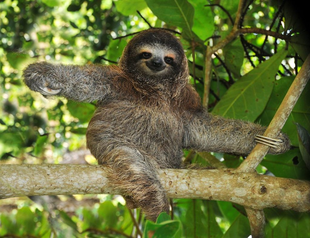 Sloths provide food and a home for moths (inset), but are not hosts in the parasitic sense