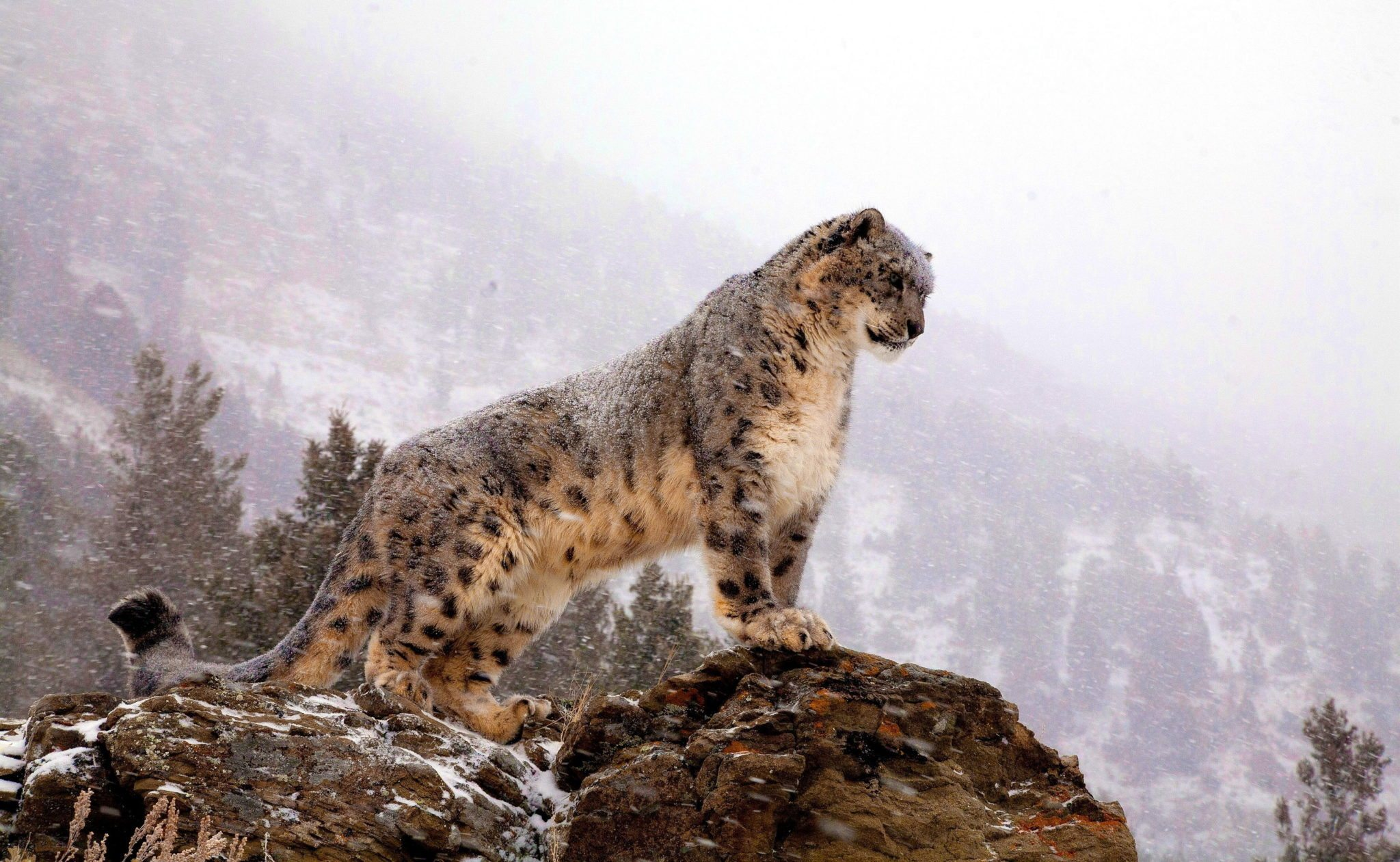 Hardy climbers: snow leopards can range to altitudes of 5,000m - higher than any mountain in Western Europe - though between 3,000 to 4,500m is more usual