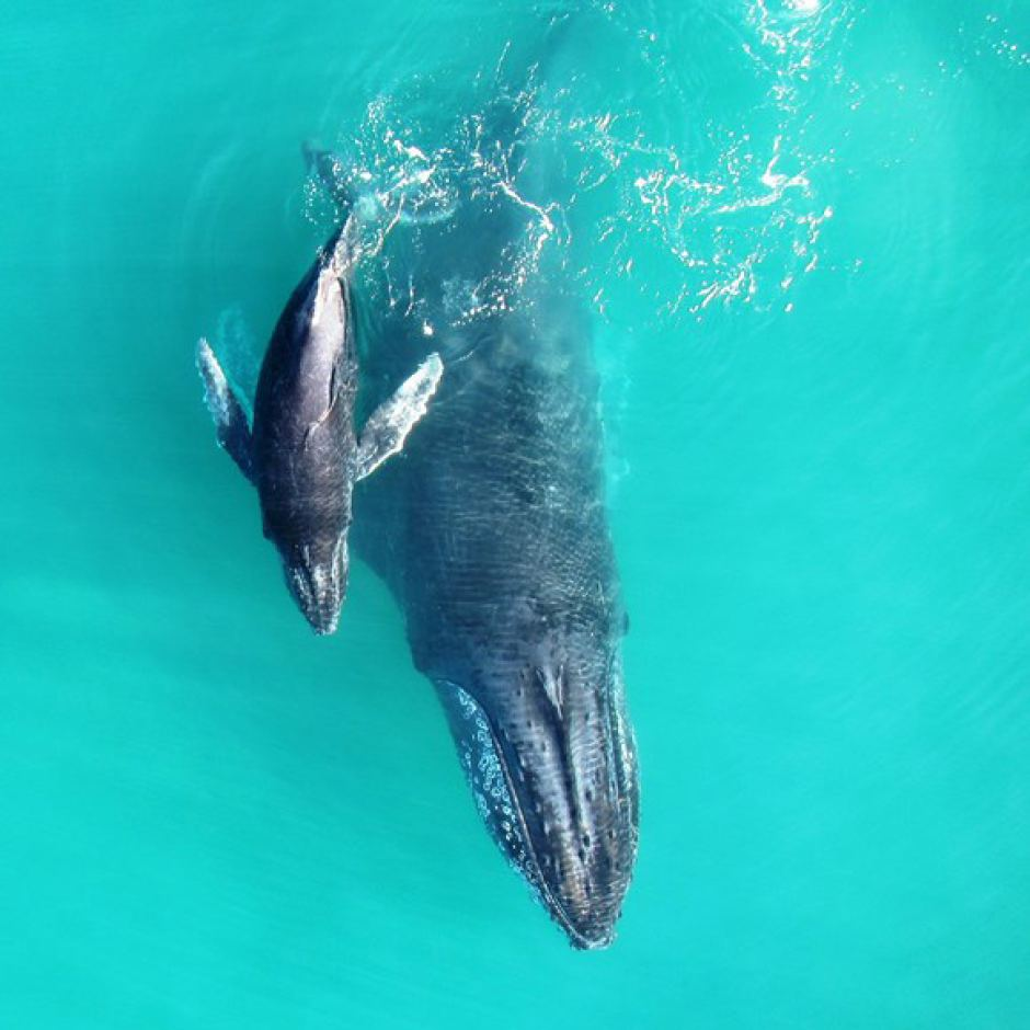 This picture from above shows a mother humpback and its baby