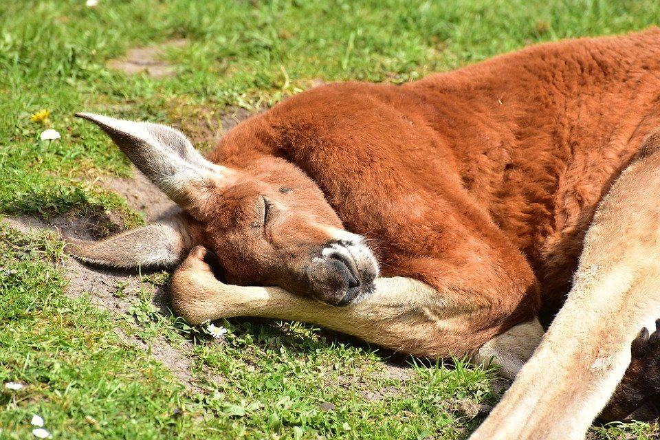 kangaroo-facts-10