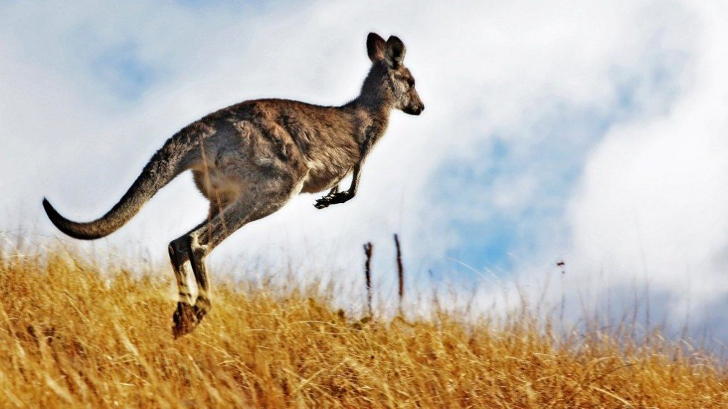 kangaroo-facts-2