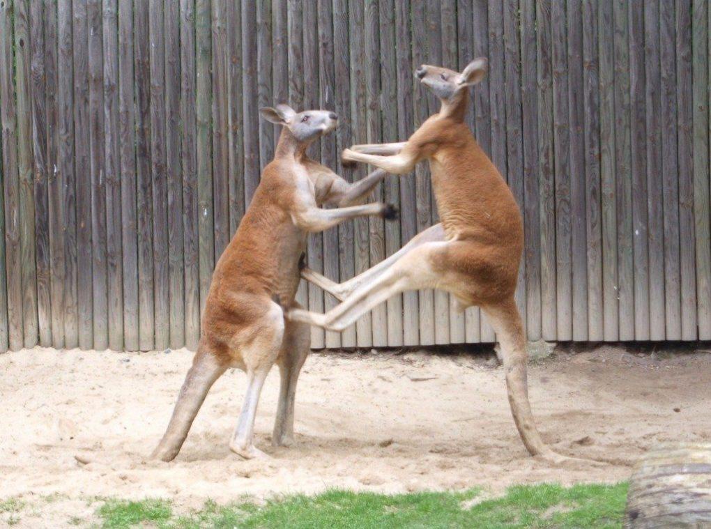 kangaroo-facts-4