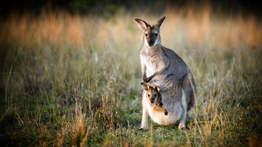 kangaroo-facts-5