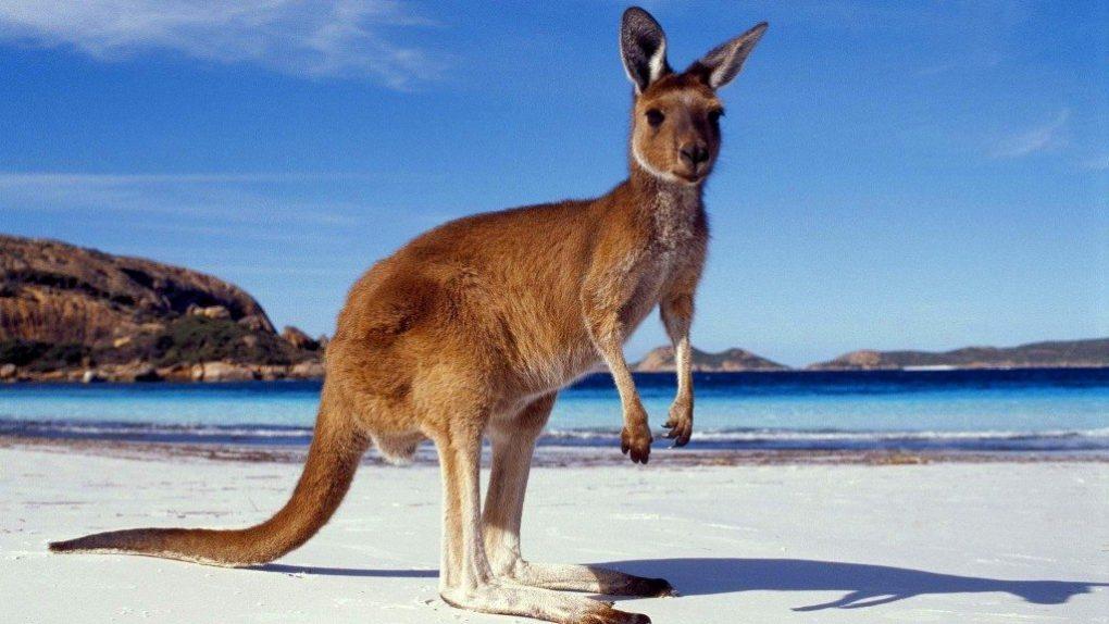 kangaroo-facts-6