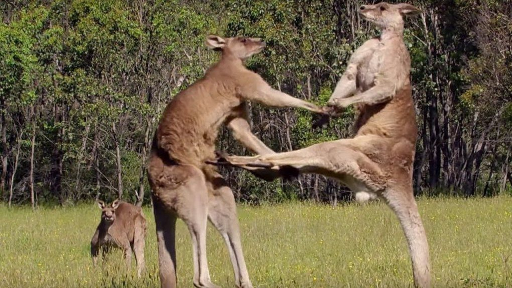 kangaroo-facts-7