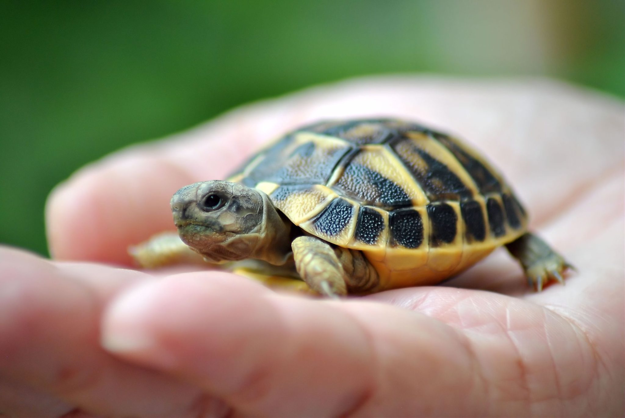 turtle-pet