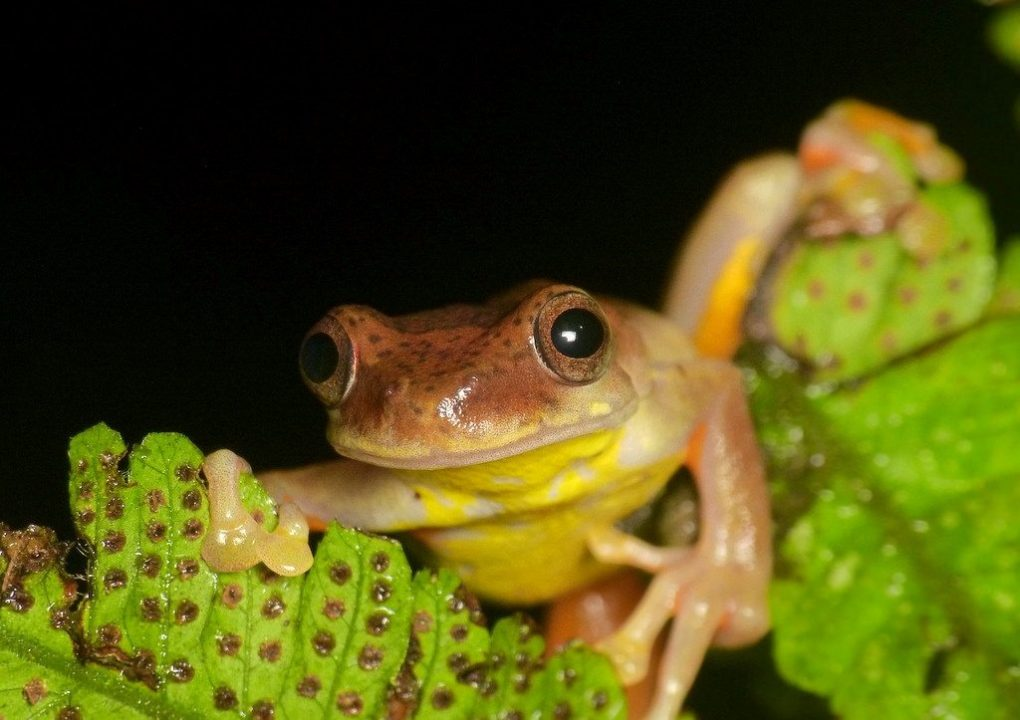 atrato-glass-frogs