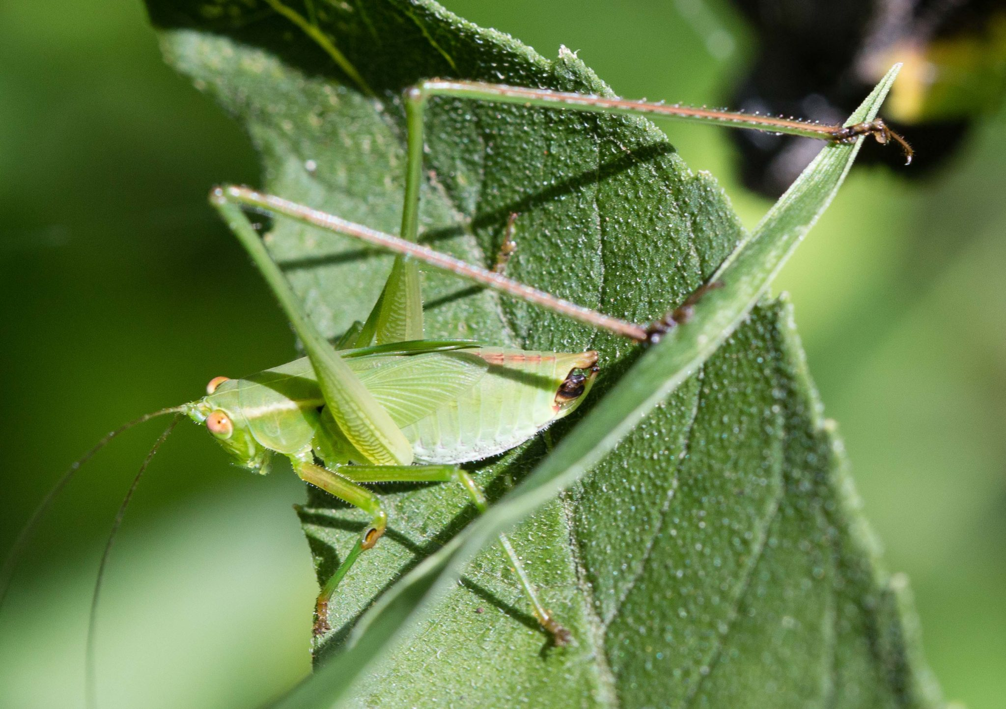 conehead-katydid-nymph