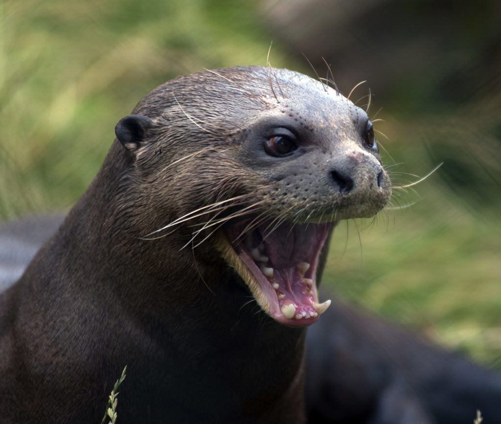 Due their sheer size, giant otters bear an uncanny resemblance to seals