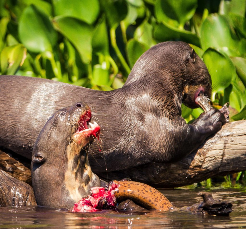 Like the Eurasian cousins, giant otters are boisterous animals, using play to reinforce social bonds