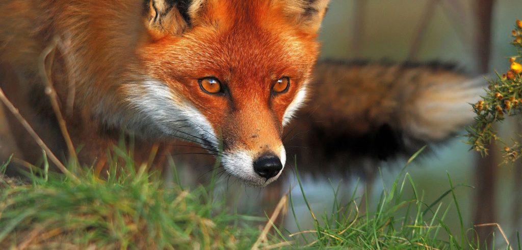 fox-facts-3