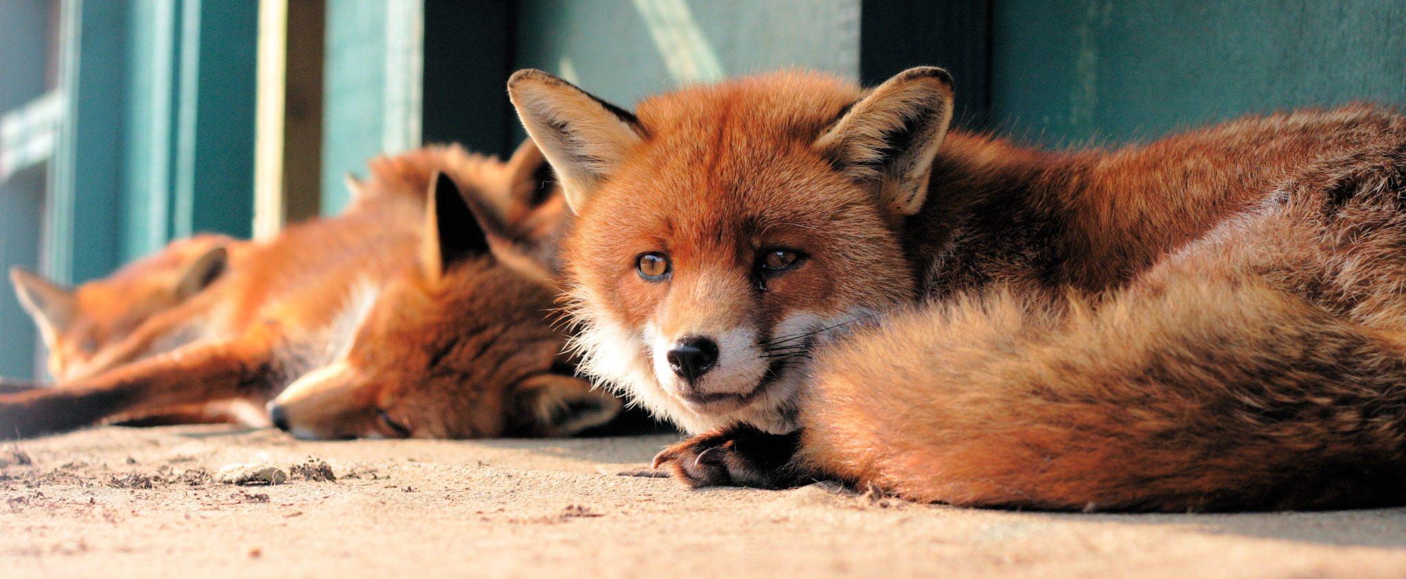 fox-facts-4