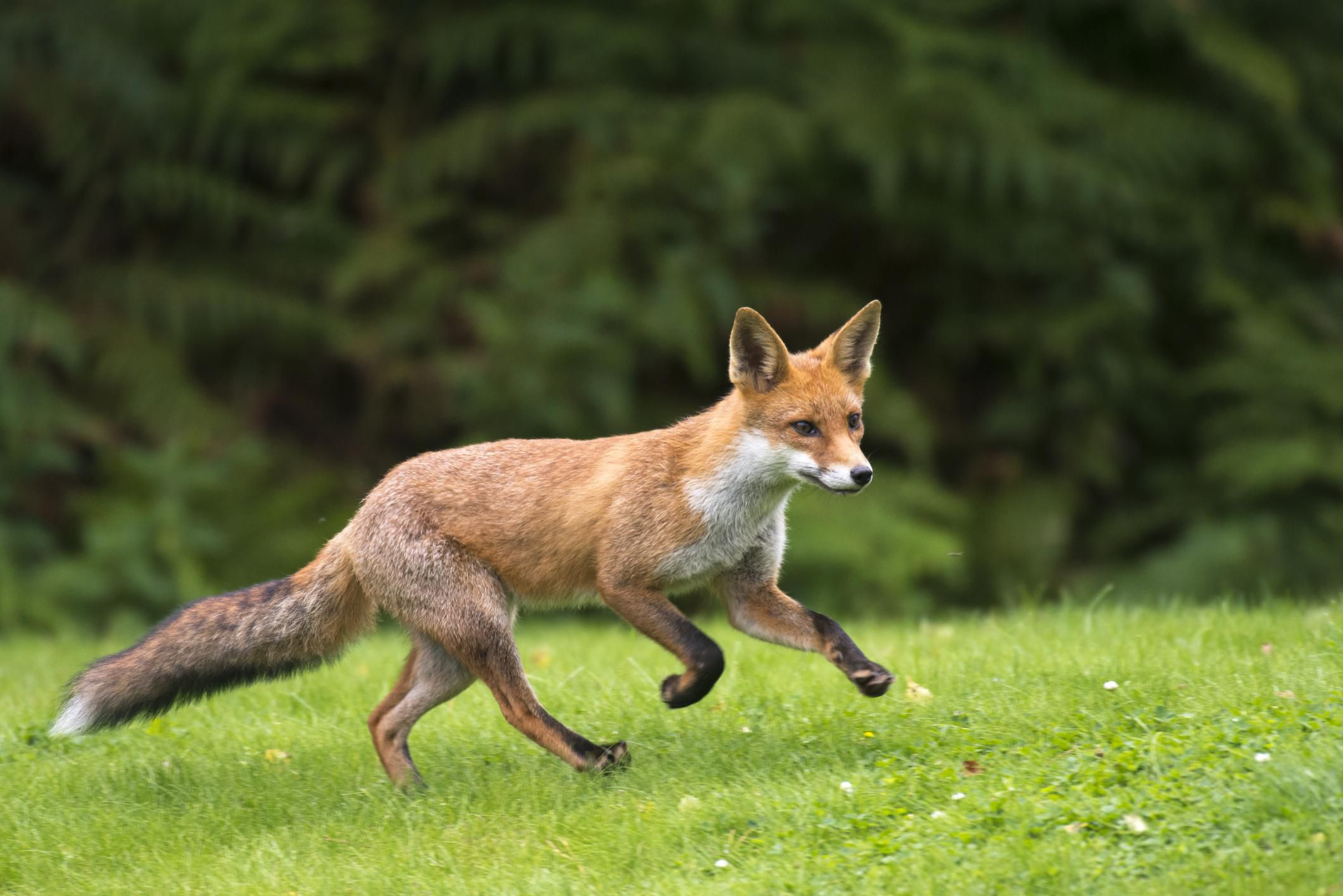 fox-facts-5
