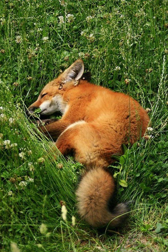fox-facts-7