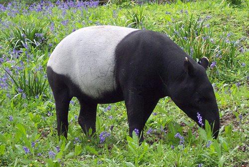 tapir-facts-4