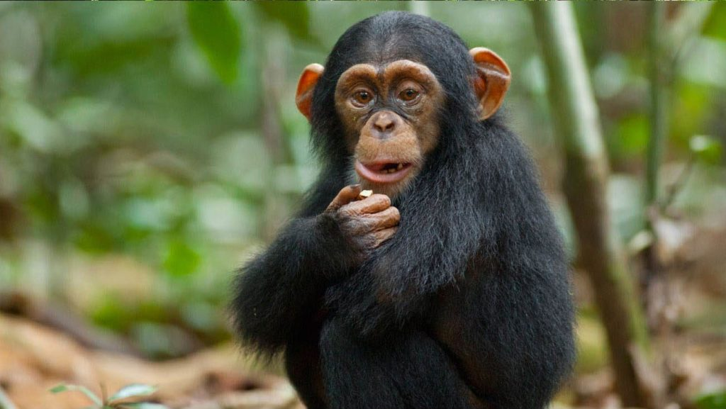 facts-about-apes-1