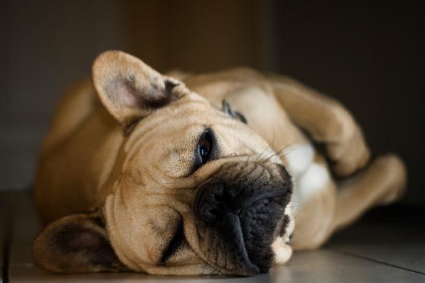 french-bulldogs-1