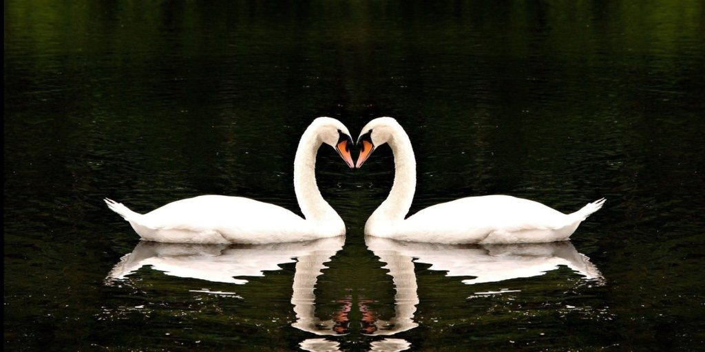 swan-facts-1