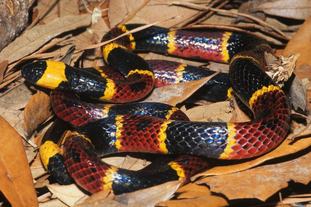 coral-snake