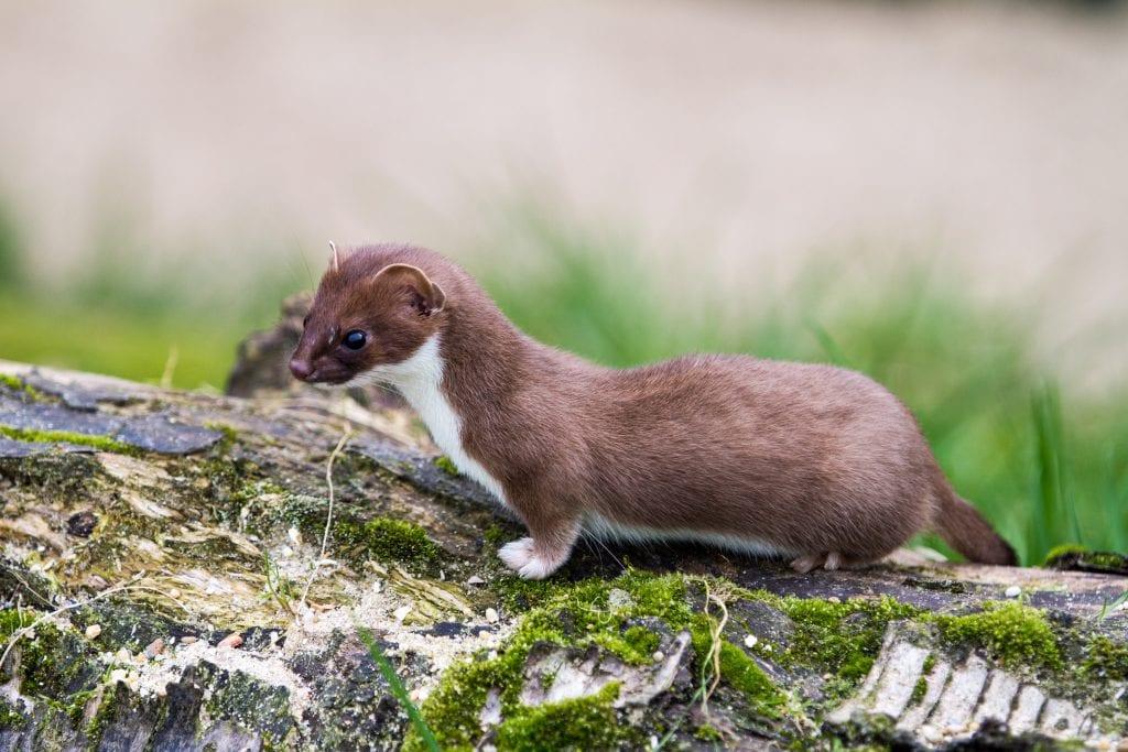 least-weasel
